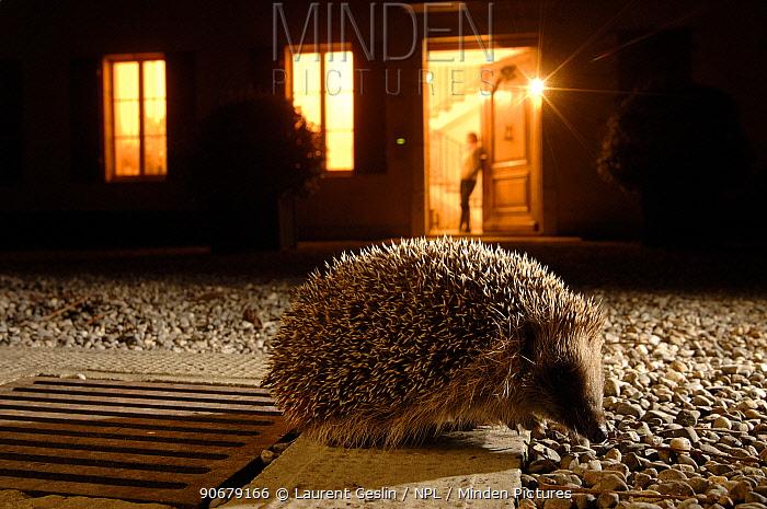 Hedgehog (Erinaceus europaeus) at night in front of house lit up, Geneva, Switzerland  -  Laurent Geslin/ npl