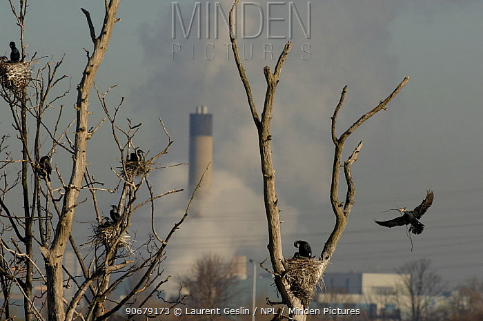 Common cormorant (Phalacrocorax carbo) colony in trees, with industrial chimneys in the background, Walthamstow, England, UK  -  Laurent Geslin/ npl