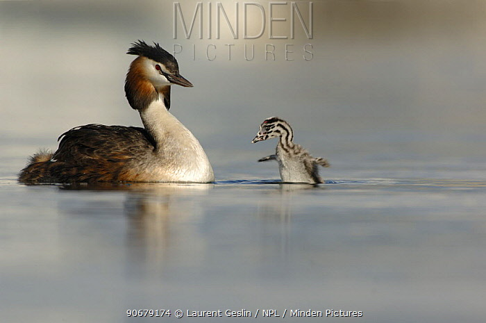 Great crested grebe (Podiceps cristatus) with chick flapping its wings Lake Geneva, Geneva, Switzerland  -  Laurent Geslin/ npl