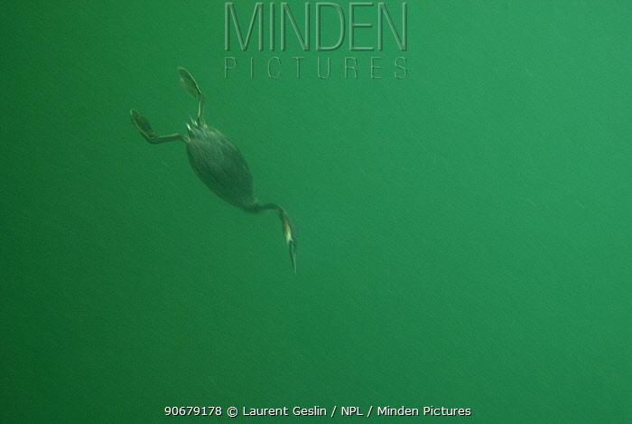 Great crested grebe (Podiceps cristatus) diving for fish in Lake Geneva, Switzerland  -  Laurent Geslin/ npl