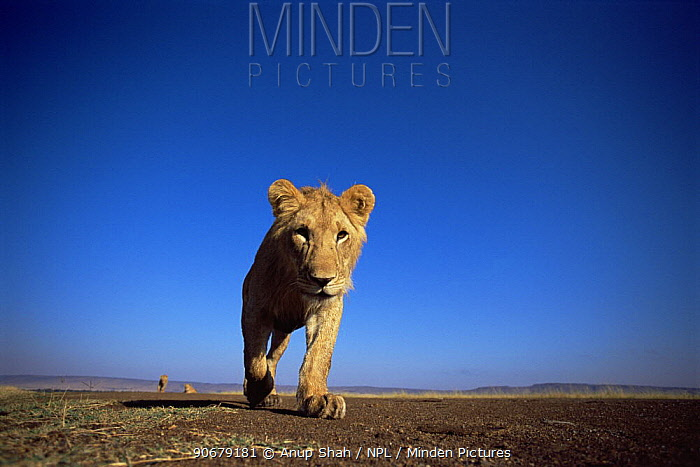 African lion (Panthera leo) llow angle lioness walking, East Africa  -  Anup Shah/ npl