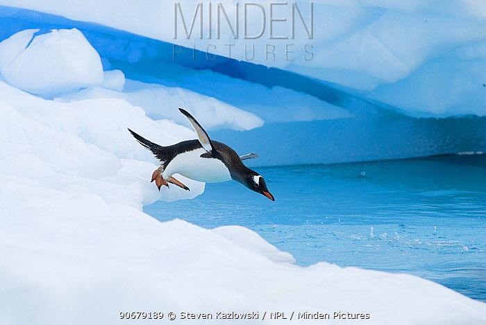 Gentoo penguin (Pygoscelis Papua) jumping off an iceberg, western Antarctic Peninsula, Southern Ocean  -  Steven Kazlowski/ npl