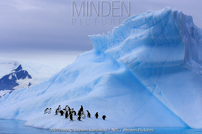 Gentoo penguins (Pygoscelis Papua) on an iceberg off the western Antarctic Peninsula, Southern Ocean  -  Steven Kazlowski/ npl