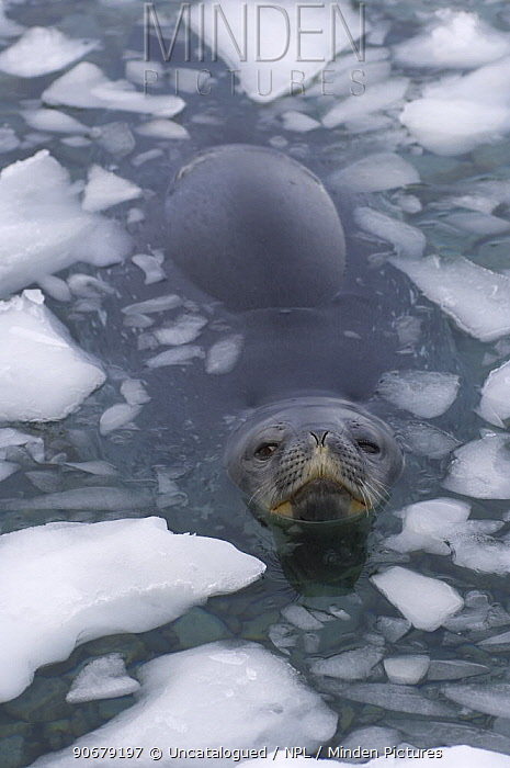 Weddell seal (Leptonychotes weddellii) at surface of icy waters of the western Antarctic Peninsula, Southern Ocean  -  Steven Kazlowski/ npl