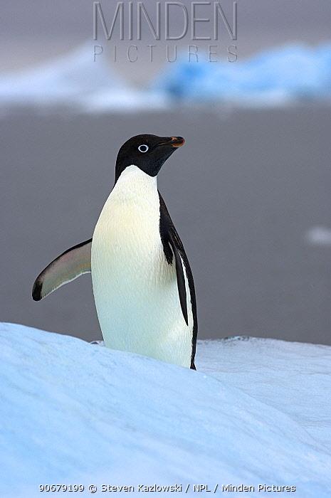 Adelie penguin (Pygoscelis Adeliae) on glacial ice along the western Antarctic Peninsula, Southern Ocean  -  Steven Kazlowski/ npl
