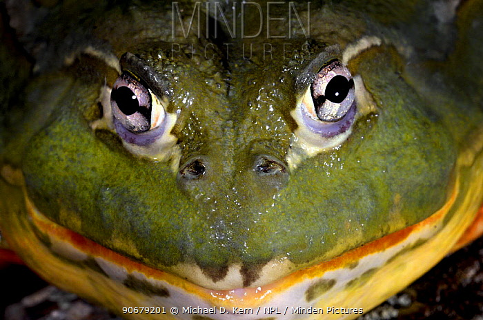 Pixie Frog (Pyxicephalus edulis) captive, from Africa  -  Michael D. Kern/ npl
