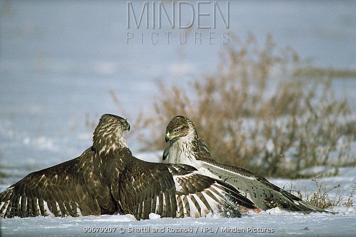 Ferruginous hawks (Buteo regalis) fighting over Prairie dog kill, Colorado, USA  -  Shattil and Rozinski/ npl