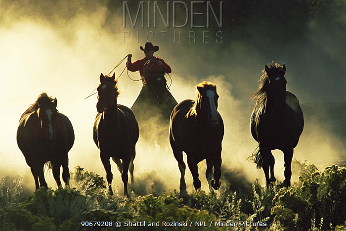 Cowboy rounding up horses at dawn, Colorado, USA Model released  -  Shattil and Rozinski/ npl