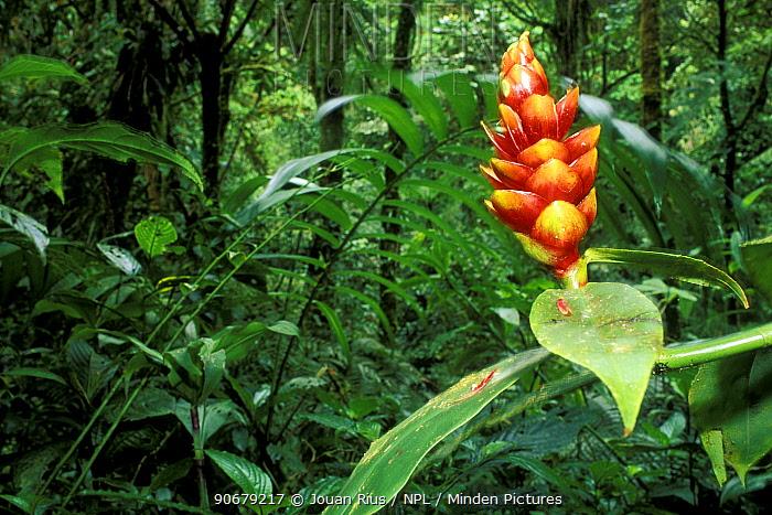 Spiral Ginger flower (Costus pulverulentus) in the rainforest, Monteverde Nature Reserve, Costa Rica  -  Jouan & Rius/ npl