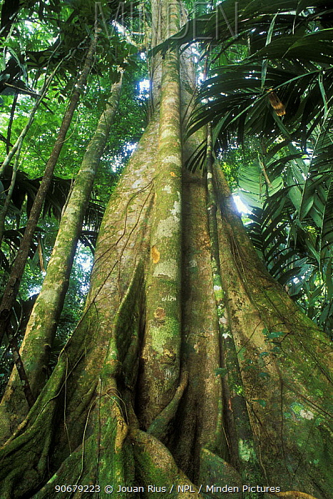 Buttress roots of giant tree in rainforest, Tortuguero NP, Costa Rica  -  Jouan & Rius/ npl