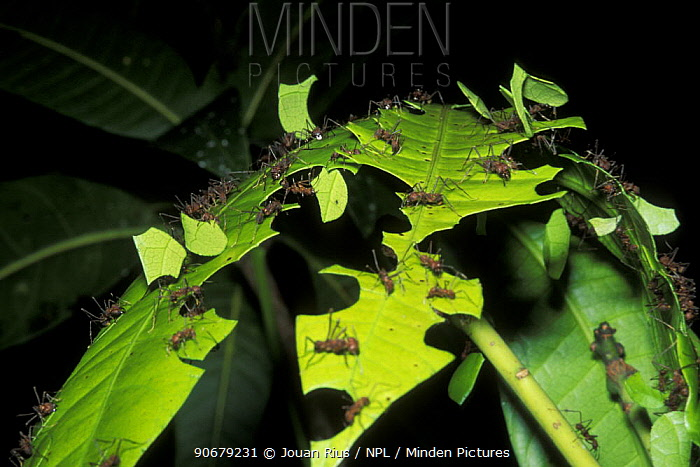 Leaf cutting ants (Atta cephalotes) cutting pieces of leaf, rainforest habitat, Costa Rica  -  Jouan & Rius/ npl