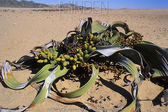 Welwitschia (Welwitchia mirabilis), Namib Naukluft NP, Namib desert, Namibia  -  Jouan & Rius/ npl