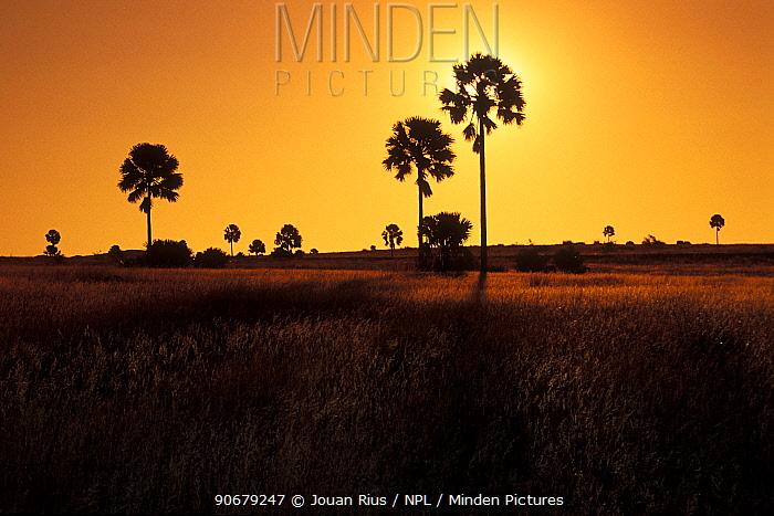 Palm trees at sunset, Ilakaka tableland, Madagascar  -  Jouan & Rius/ npl