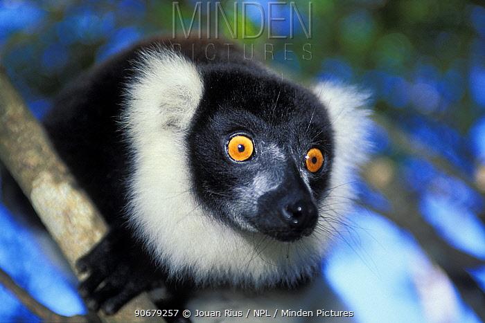 Black and white ruffed lemur (Varecia variegata variegata) portrait, tropical rainforest, Andasibe-Mantadia NP, Madagascar  -  Jouan & Rius/ npl