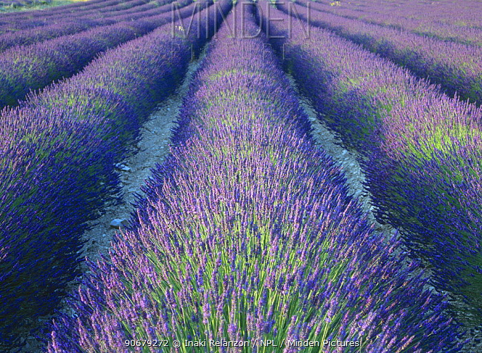 Fields of Lavander flowers ready for harvest, Sault, Provence, France, June 2004  -  Inaki Relanzon/ npl