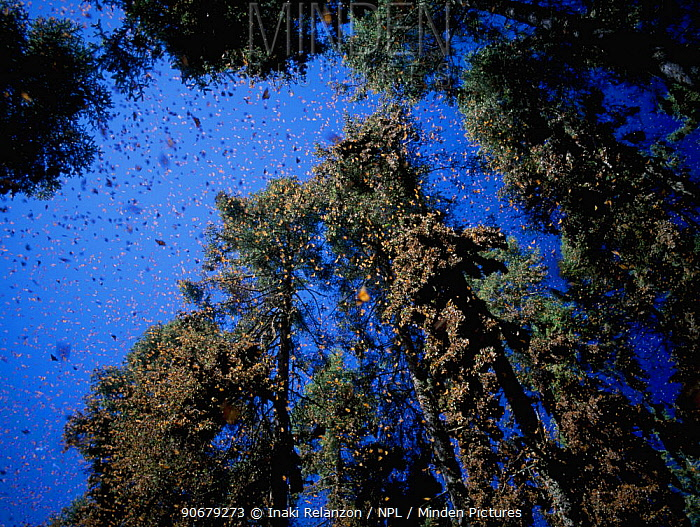 Clouds of Monarch butterflies (Danaus plexippus) flying and resting on trees while on migration, Miochacan, Mexico, January 1997  -  Inaki Relanzon/ npl