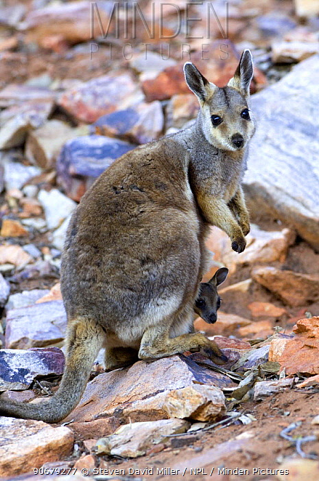 Female Black-footed, Black-flanked Rock Wallaby (Petrogale lateralis) standing on rock with joey in pouch, Heavitree Gap, Alice Springs, Northern Territory  -  Steven David Miller/ npl