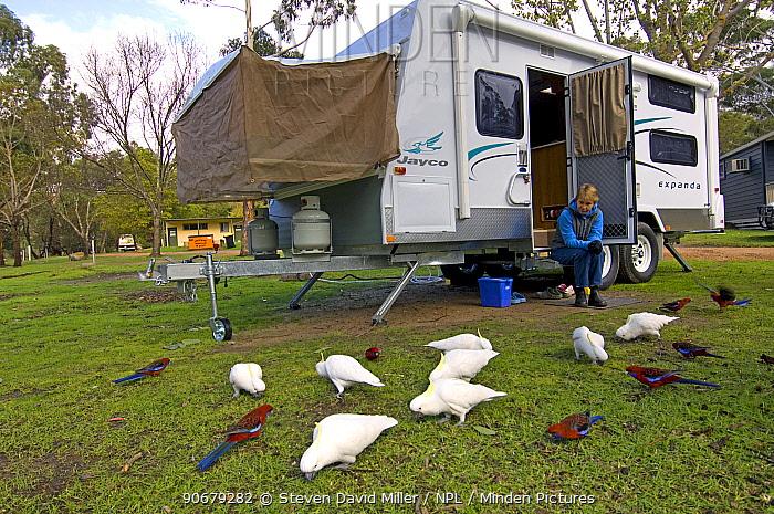Birds feeding on seed by a caravan, The Lakeside Caravan Park, Halls Gap, The Grampians, Victoria, Australia, Property Released  -  Steven David Miller/ npl