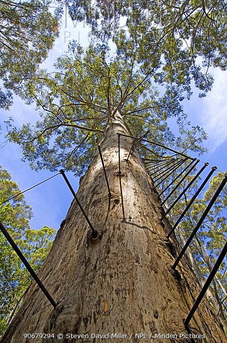 Ladder for climbing up a large Karri tree (Eucalyptus diversicolor) called The Gloucester Tree, a fire lookout tree, Gloucester National Park, Pemberton, Western Australia  -  Steven David Miller/ npl