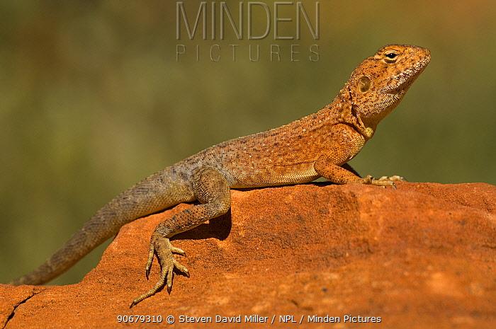 Ring-tailed Dragon Lizard (Ctenophorus caudicinctus) sunning on a rock, Kings Canyon, Watarrka National Park, Northern Territory, Australia  -  Steven David Miller/ npl
