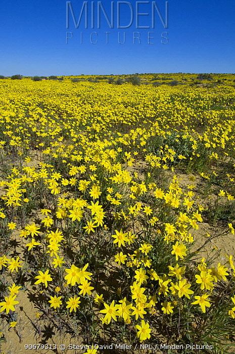 Wild daisies blooming along side the Innamincka end of the Strzelecki Track, Strzelecki Desert,  -  Steven David Miller/ npl