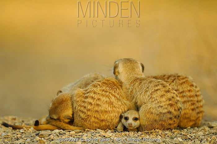 Meerkat (Suricata suricatta) juvenile peering out from under resting group of adults, South Africa  -  Solvin Zankl/ npl