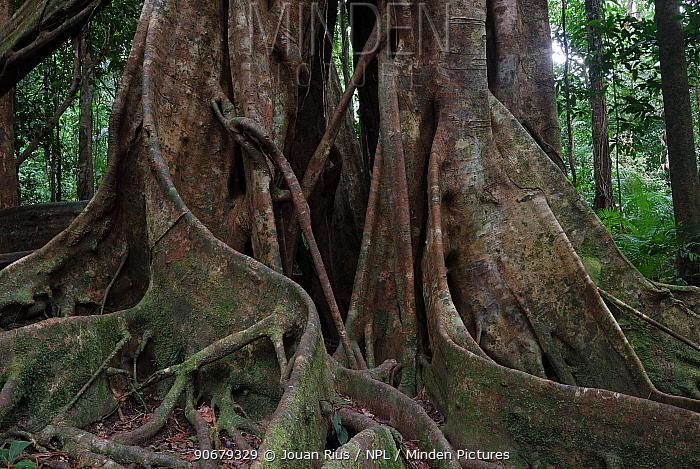 Roots of Strangler fig tree, Daintree National Park, Queensland, Australia  -  Jouan & Rius/ npl
