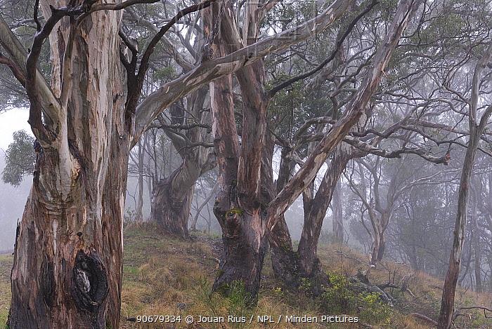 Gum tree forest (Eucalyptus) in mist, Bunys Mountains National Park, Queensland, Australia  -  Jouan & Rius/ npl