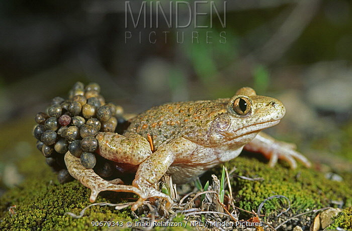 Midwife toad (Alytes obstetricans) male carrying eggs, Spain, June  -  Inaki Relanzon/ npl