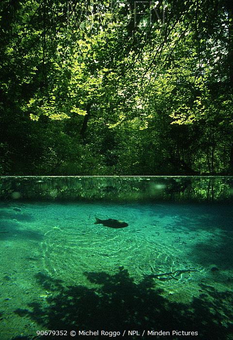 Red-eye, Rudd (Scardinius erythrophthalmus) in forest pond close to Aare river, Switzerland, May  -  Michel Roggo/ npl