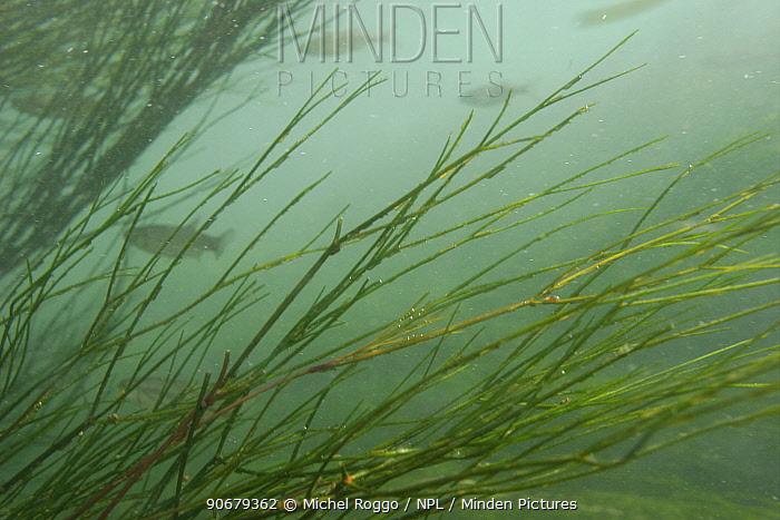 Underwater landscape with River water-crowfoot (Ranunculus fluitans) Rhine river, Switzerland, June  -  Michel Roggo/ npl