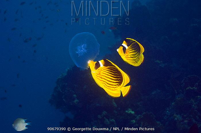 Red Sea racoon, Striped butterflyfish (Chaetodon fasciatus) feeding on a jellyfish Red Sea, Egypt  -  Georgette Douwma/ npl