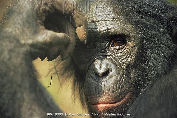 Bonobo (Pan paniscus) portrait, looking thoughtful Lola Ya Bonobo Sanctuary, Kinshasa, DR of Congo, 2007  -  Karl Ammann/ npl