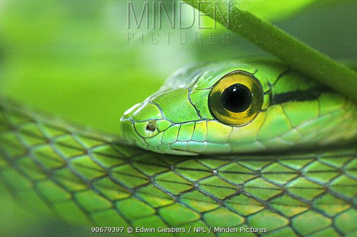 Close up of Satiny Parrot Snake (Leptophis depressirostris), Costa Rica  -  Edwin Giesbers/ npl
