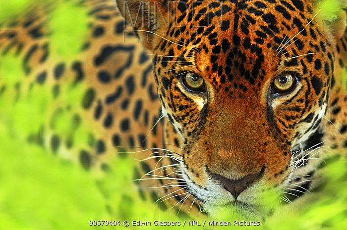 Jaguar (Panthera onca) portrait, Costa Rica, Captive  -  Edwin Giesbers/ npl