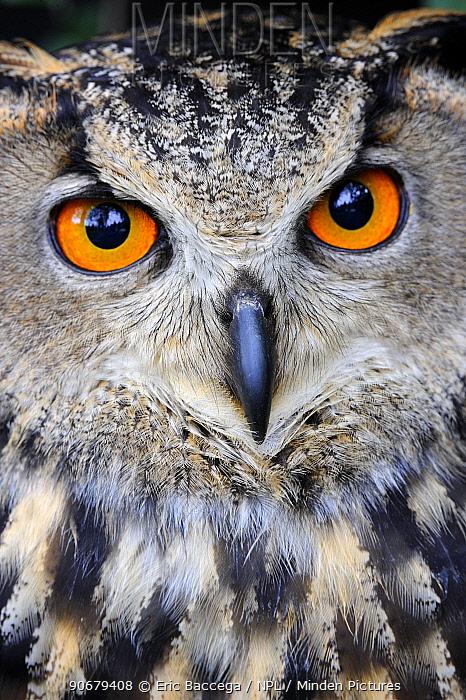 Eurasian eagle-owl (Bubo bubo) captive, France  -  Eric Baccega/ npl