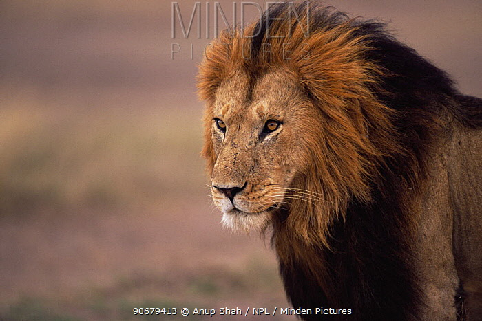 African lion (Panthera leo) male portrait, Masai Mara GR, Kenya  -  Anup Shah/ npl
