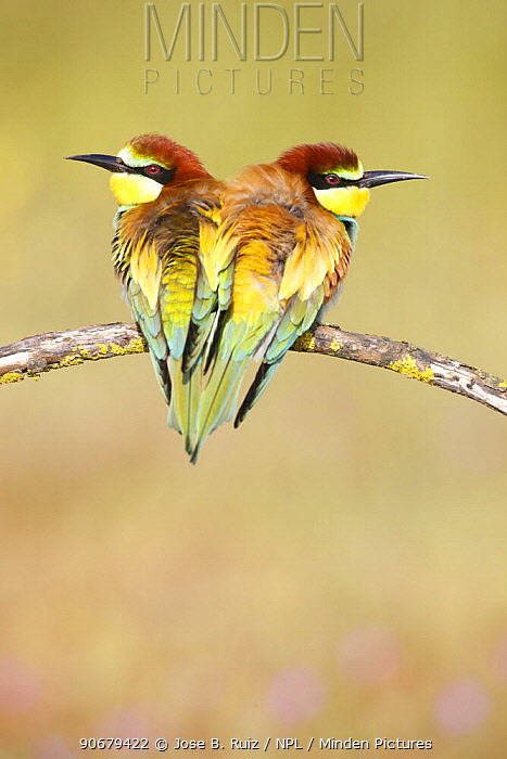 European bee eaters (Merops apiaster) perched close together on branch Seville, Spain  -  Jose B. Ruiz/ npl