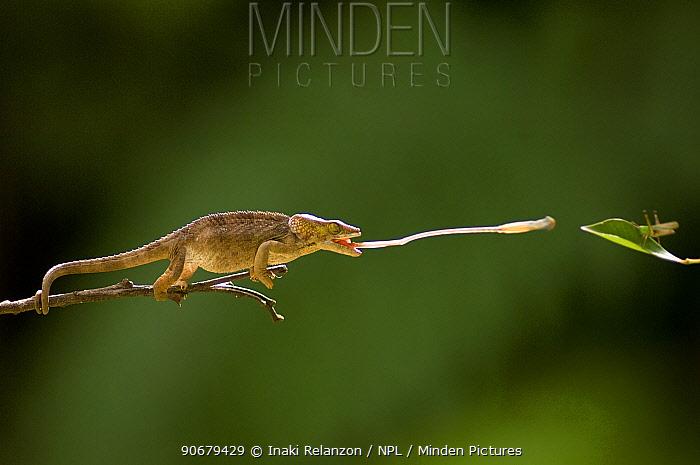 Short-horned chameleon (Calumma brevicornis) catching insect prey with its tongue, Andasibe-Mantadia National Park, Madagascar, Sequence 4, 5  -  Inaki Relanzon/ npl