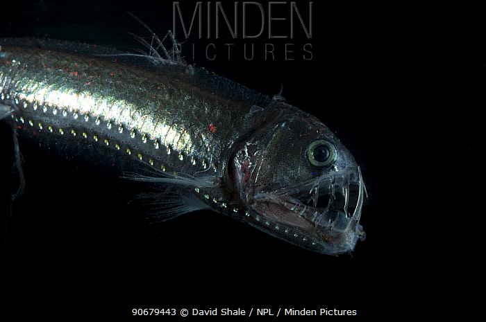 Viperfish (Chauliodus sloani) deepsea, from the Mid-Atlantic Ridge, 400-520m, during the day  -  David Shale/ npl