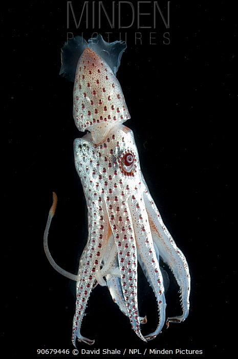 Deepsea squid (Histioteuthis bonellii) showing chromatophores changing colour, from the Mid-Atlantic Ridge, 200, 50m  -  David Shale/ npl