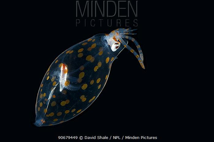 Deep sea Glass squid (Cranchia sp) from Mid-Atlantic Ridge  -  David Shale/ npl