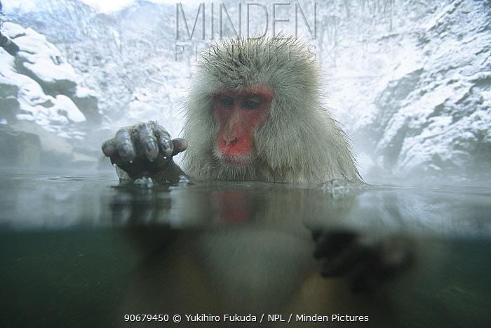 Japanese macaque, Snow monkey (Macaca fuscata) adult female bathing in hot springs tapping the water surface with hand in play, water at 40 degrees, Jigokudani, Nagano, Japan  -  Yukihiro Fukuda/ npl