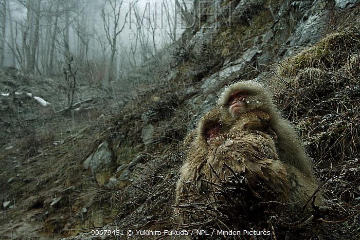 Japanese macaque, Snow monkey (Macaca fuscata) two monkeys huddle together to keep warm, Jigokudani, Nagano, Japan  -  Yukihiro Fukuda/ npl