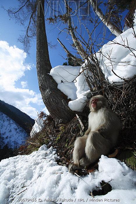 Japanese macaque, Snow monkey (Macaca fuscata) monkey basking in the winter sunshine, Jigokudani, Nagano, Japan  -  Yukihiro Fukuda/ npl