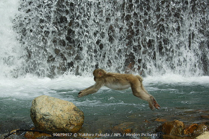 Japanese macaque, Snow monkey (Macaca fuscata) monkey jumping across a river, Jigokudani, Nagano, Japan  -  Yukihiro Fukuda/ npl