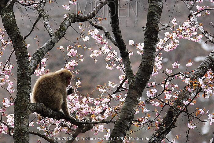 Japanese macaque, Snow monkey (Macaca fuscata) feeding on wild cherry tree blossom in spring, Jigokudani, Nagano, Japan  -  Yukihiro Fukuda/ npl