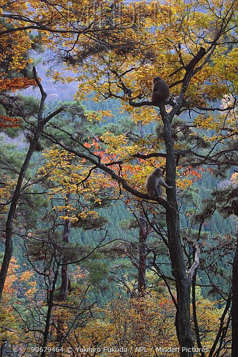 Japanese macaque, Snow monkey (Macaca fuscata) feeding on seeds in tree in autumn, Jigokudani, Nagano, Japan  -  Yukihiro Fukuda/ npl