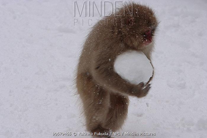 Japanese macaque, Snow monkey (Macaca fuscata) young monkey plays with snow ball, Jigokudani, Nagano, Japan  -  Yukihiro Fukuda/ npl