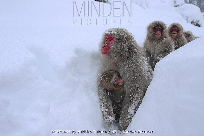 Japanese macaque, Snow monkey (Macaca fuscata) groups walking along snow trail in deep snow, Jigokudani, Nagano, Japan  -  Yukihiro Fukuda/ npl